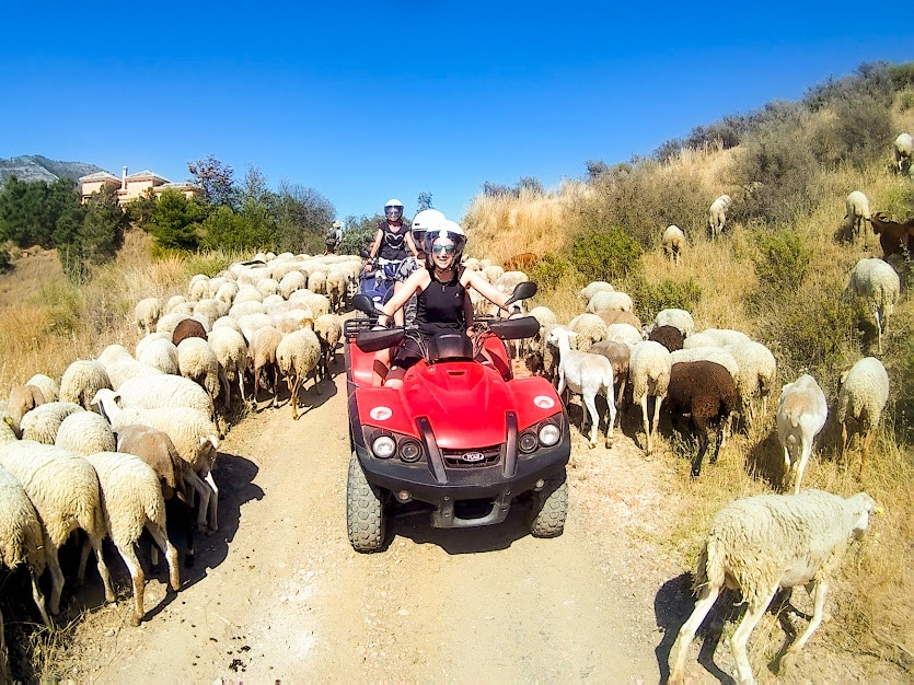 quads are slowly getting past a herd of sheep