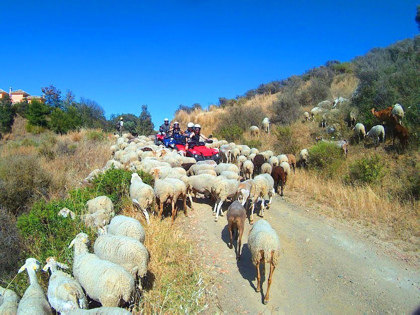 three quads are stuck with sheep crossing the road