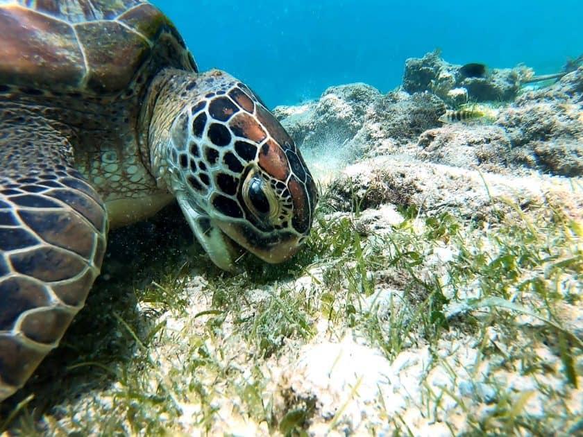 Akumal Mexiko - Meeresschildkröten