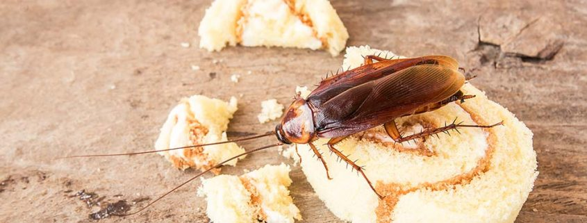 Control y eliminación de cucarachas