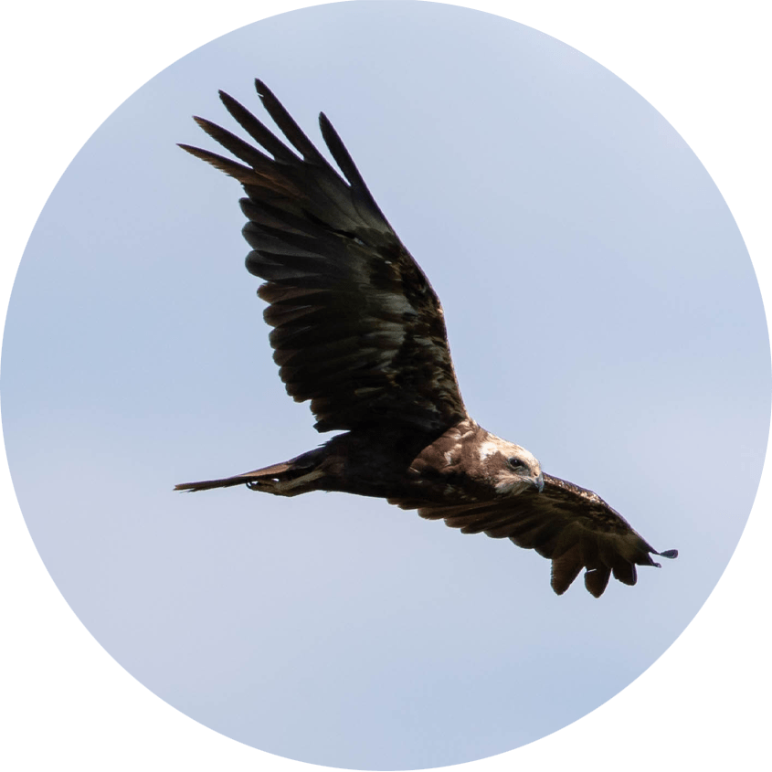 Western Marsh Harrier - Homepage