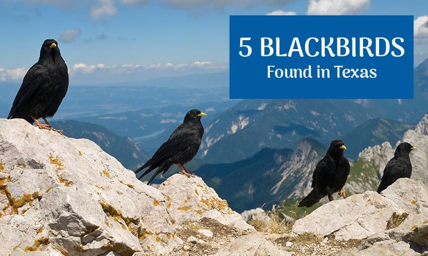 A picture of 4 blackbirds perched on a mountain top. Text reads 5 blackbirds found in Texas.