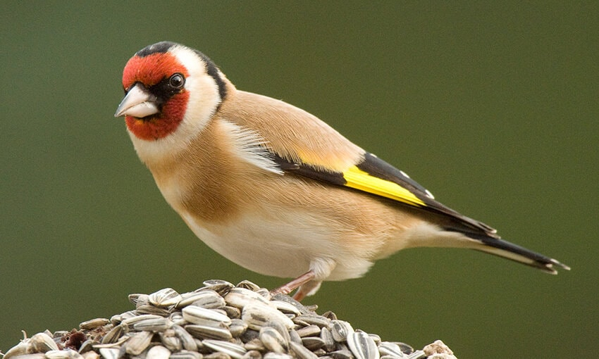 A European Goldfinch standing on a pile of seeds.