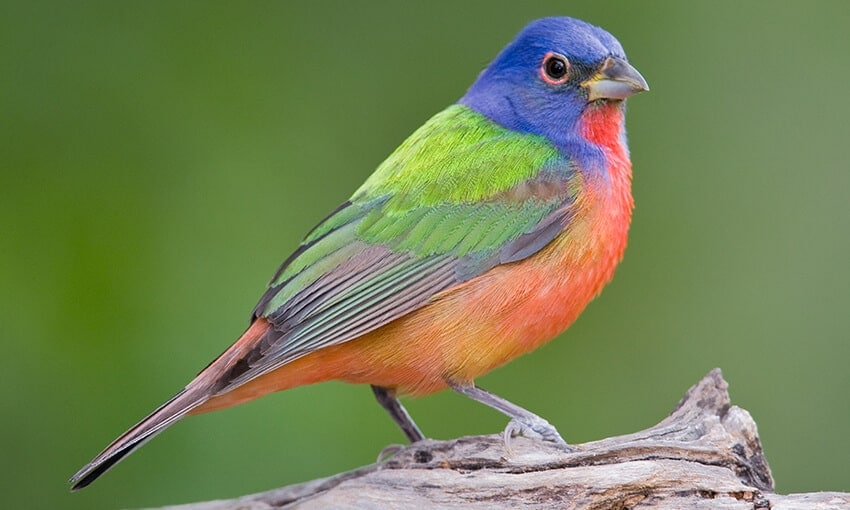 A Painted Bunting perched on a piece of wood.