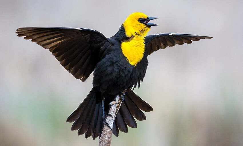 A picture of a yellow headed blackbird perched on a stick.