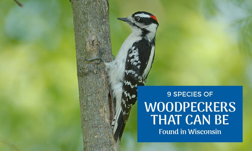 """A woodpecker on the side of a tree with text that reads """"9 species of woodpeckers that can be found in Wisconsin."""""""