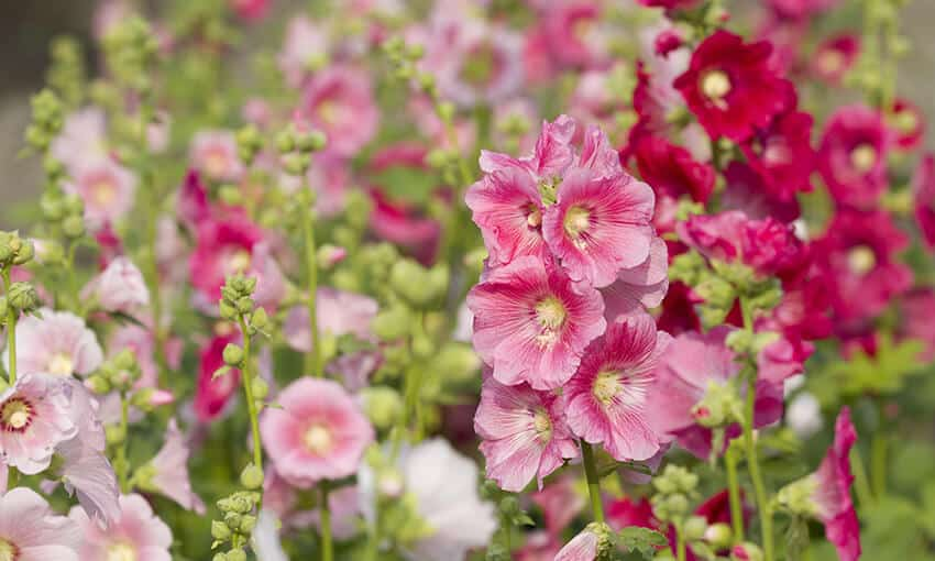 An image of pink and red hollyhocks.