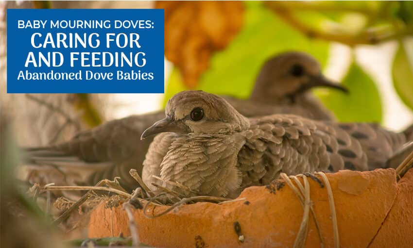"A picture of two mourning doves in a nest. Text reads ""Baby mourning doves: caring for and feeding mourning dove babies."""
