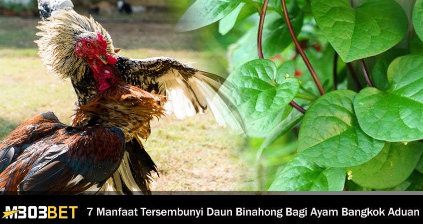 Daun Binahong Bagi Ayam Bangkok Aduan