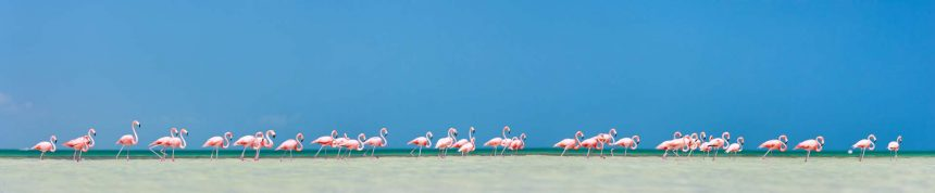 Pink flamingos on island Holbox, Mexico