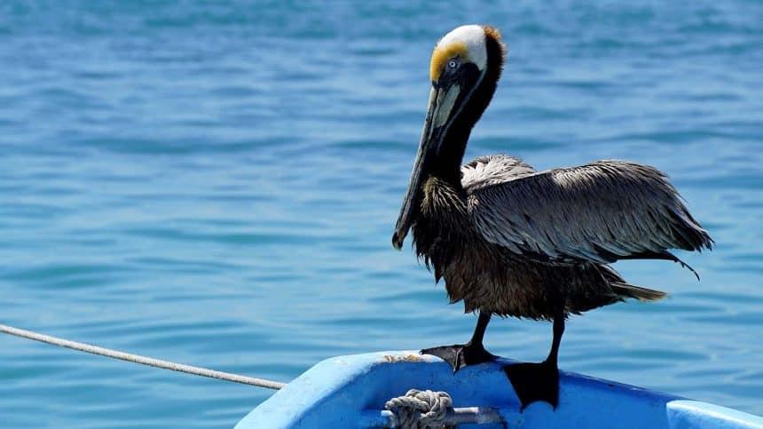 Isla Mujeres México - Lancha de pescadores con pelícano
