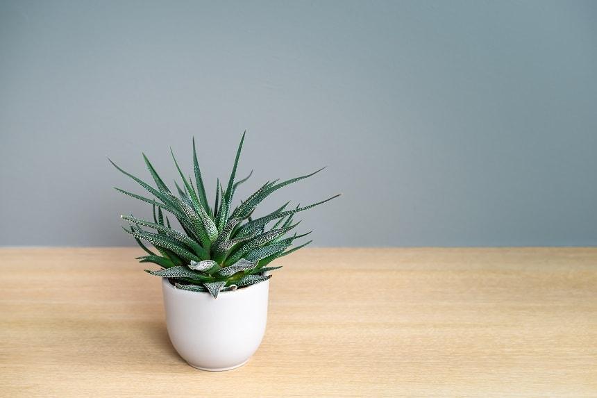 Die Aloe Aristata ist winterhart.