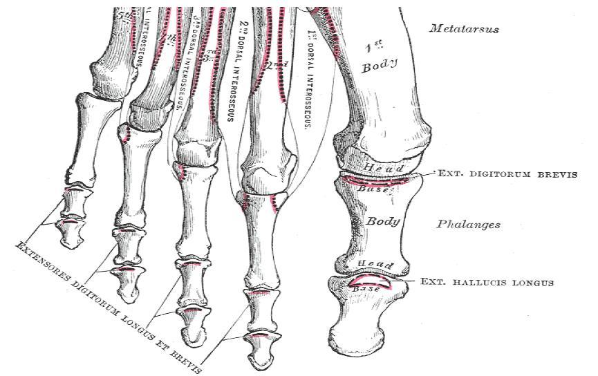 toe bones