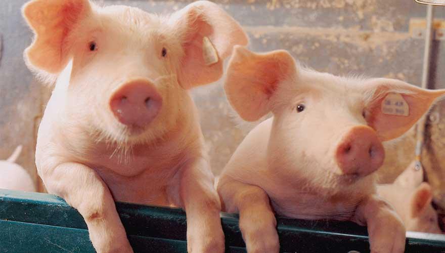 Porcs - Xénotransplantation