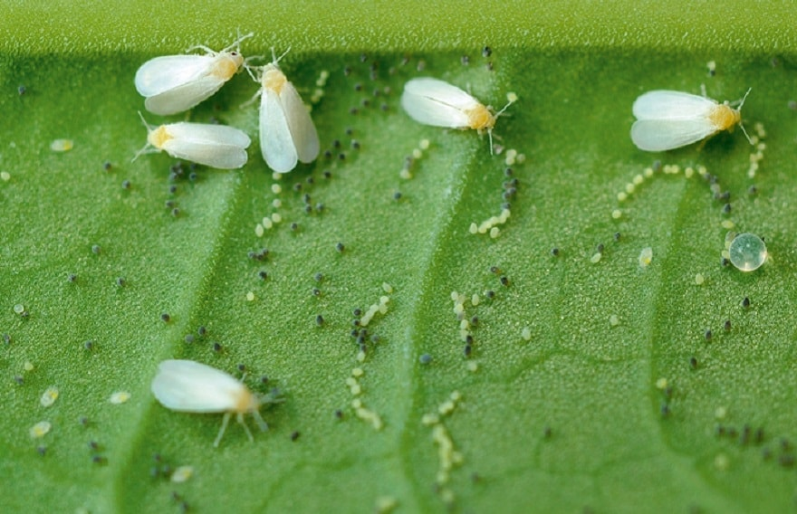 mouche blanche parasite