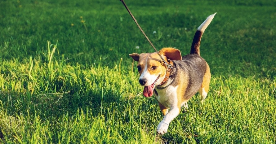 Beagle dog walking on green grass