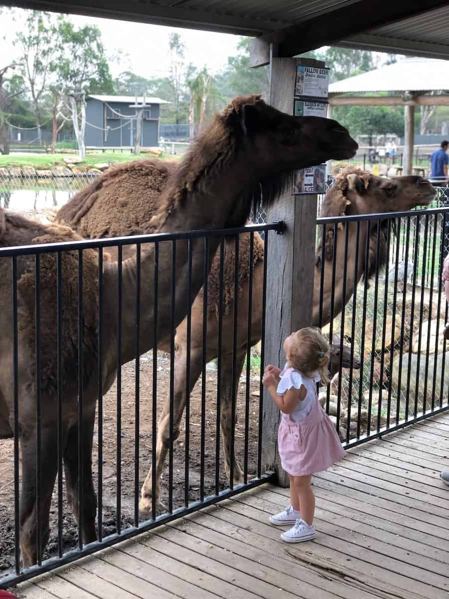 Hunter Valley Zoo camels