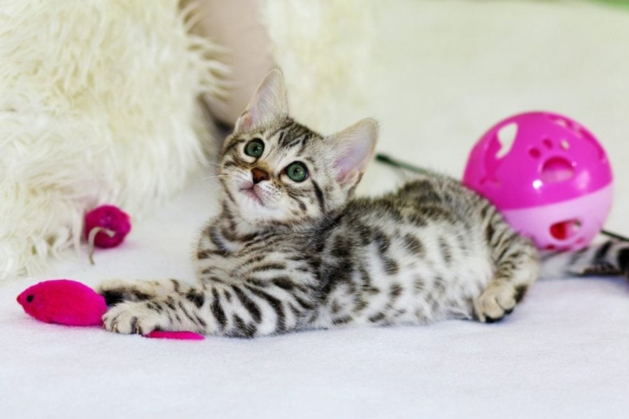 cute kitten with mouse toy