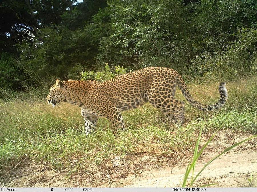Tembe Camera Trap Photo - Leopard