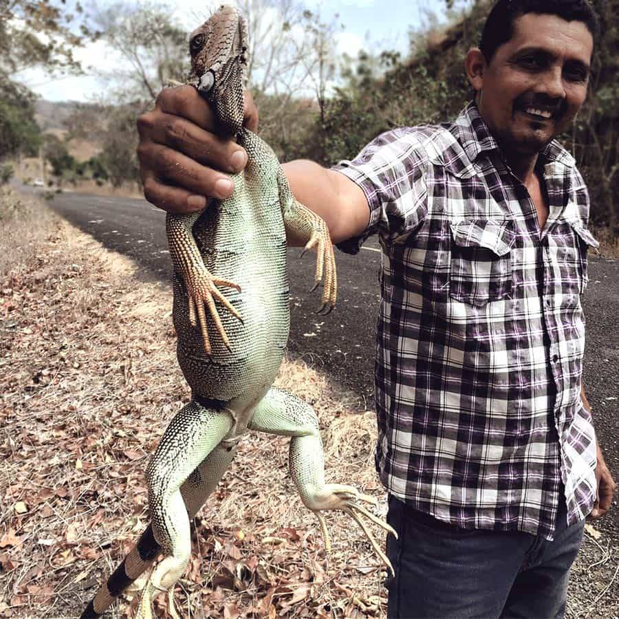 hunting an Iguana for dinner