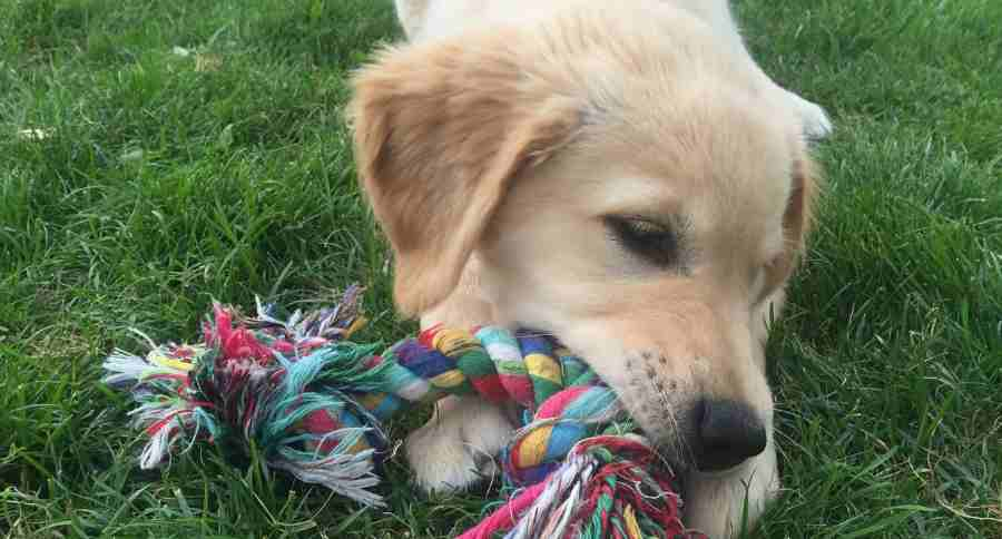 Chewing puppy