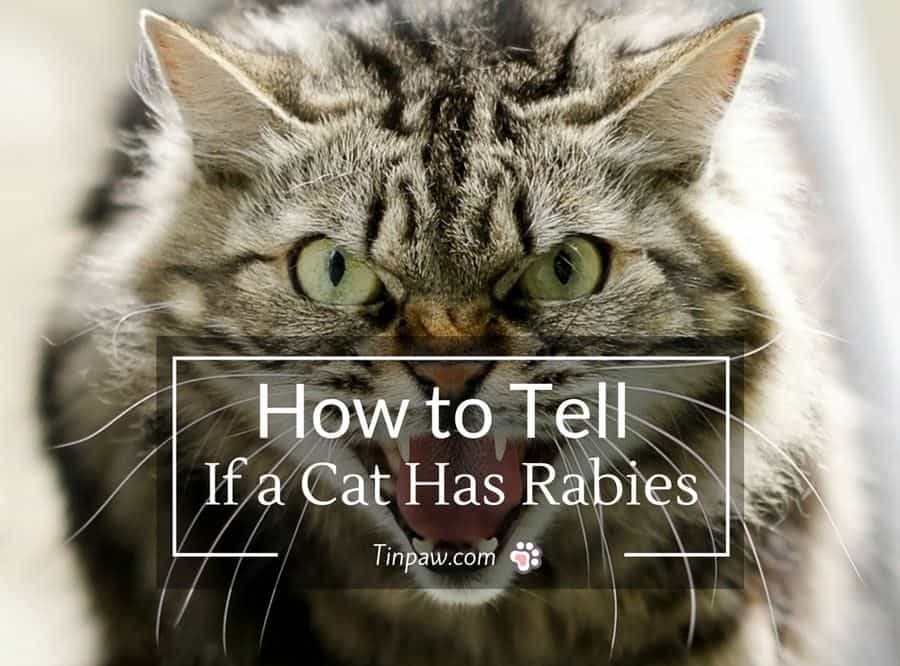 How to Tell If a Cat Has Rabies : Symptoms and Warning Signs