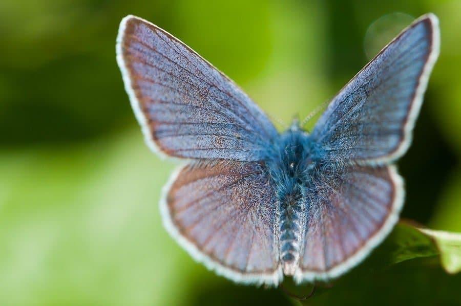 Papillon Argus bleu ouvert