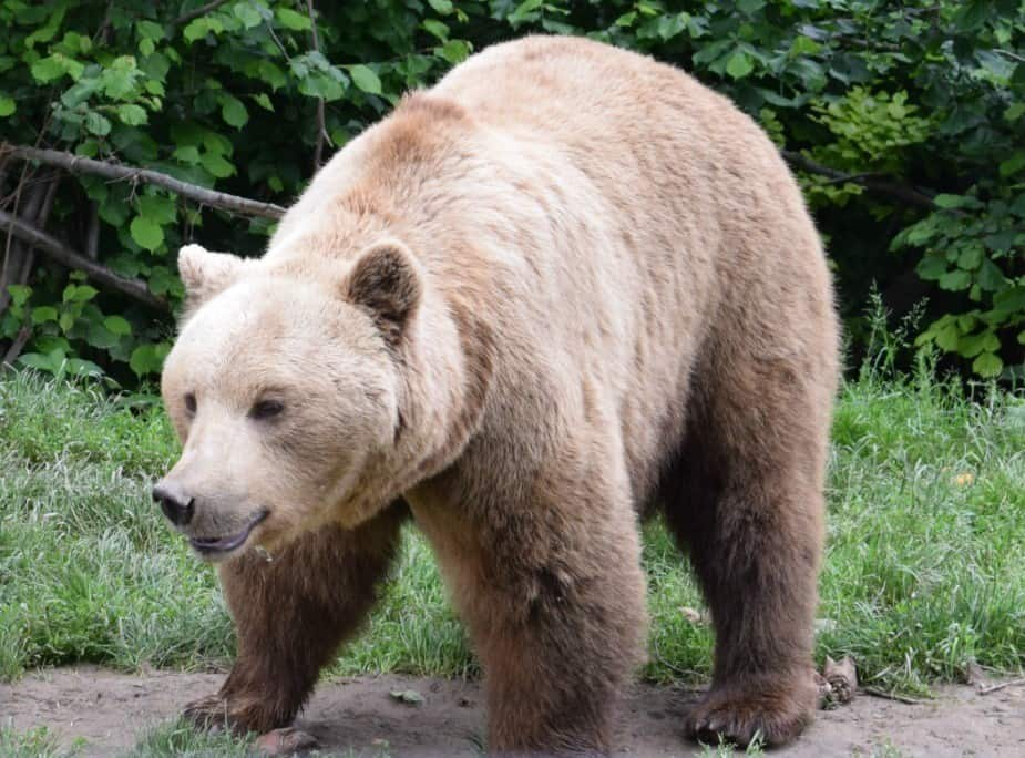 European Brown Bear at the Bear Sanctuary near Brasov