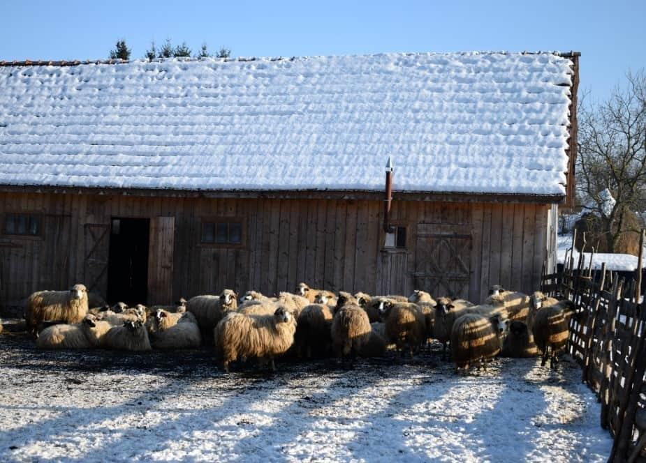 Sheep in the village of Breb Romania