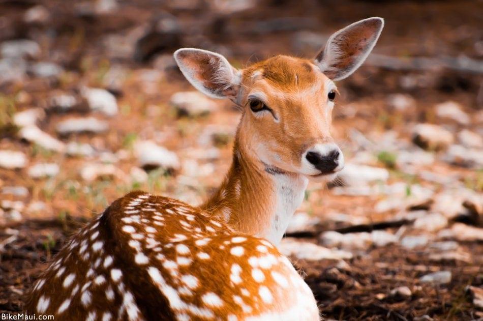 Hawaii deer