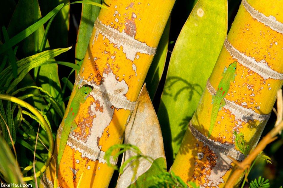 2 geckos on bamboo