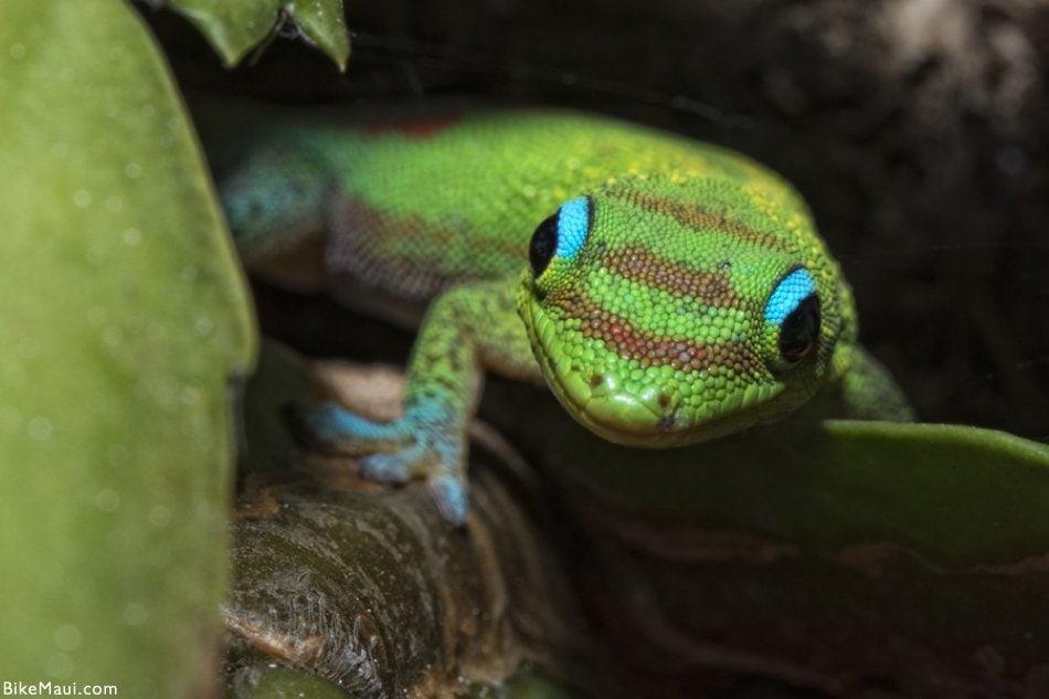 gecko colors