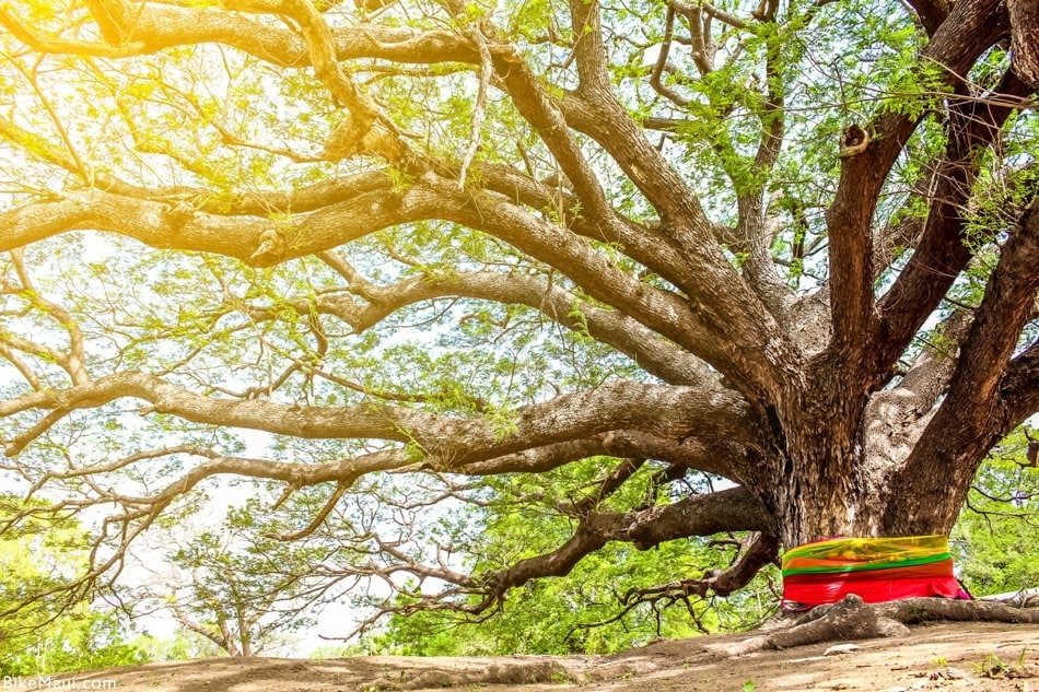 Monkeypod famous tree