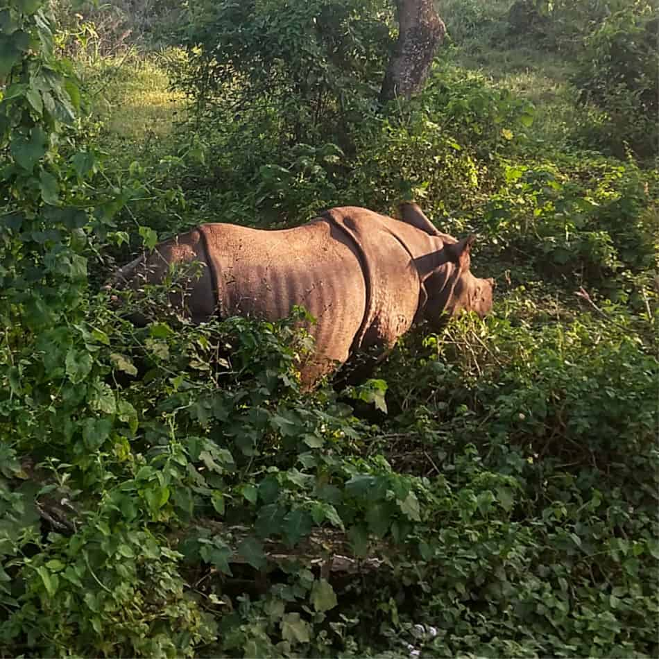Rhino in Sauraha Chitwan National Park Nepal