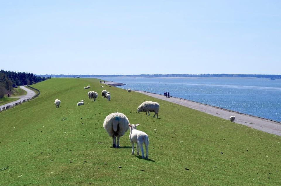 Nord- und Ostsee - Nordsee Deich Schafe