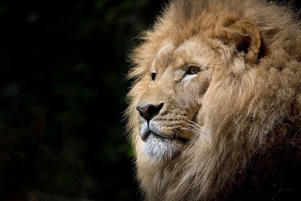 lion-big-five