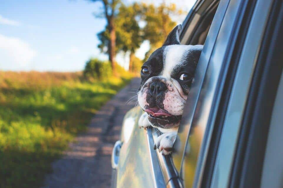 cute french bulldog with its head out of a car window on a sunny day