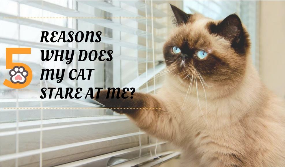 Why Does My Cat Stare At Me? Top 5 Reasons Why