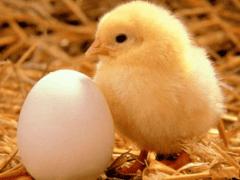 Что означает когда снится Цыпленок?