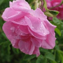 Дамасская роза: лучшие сорта и правила посадки