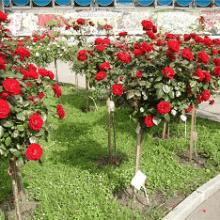 Как вырастить штамбовую розу?