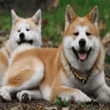 Отзывы владельцев акита-ину: описание породы