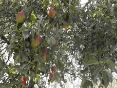 Посадка груши Талгарская красавица