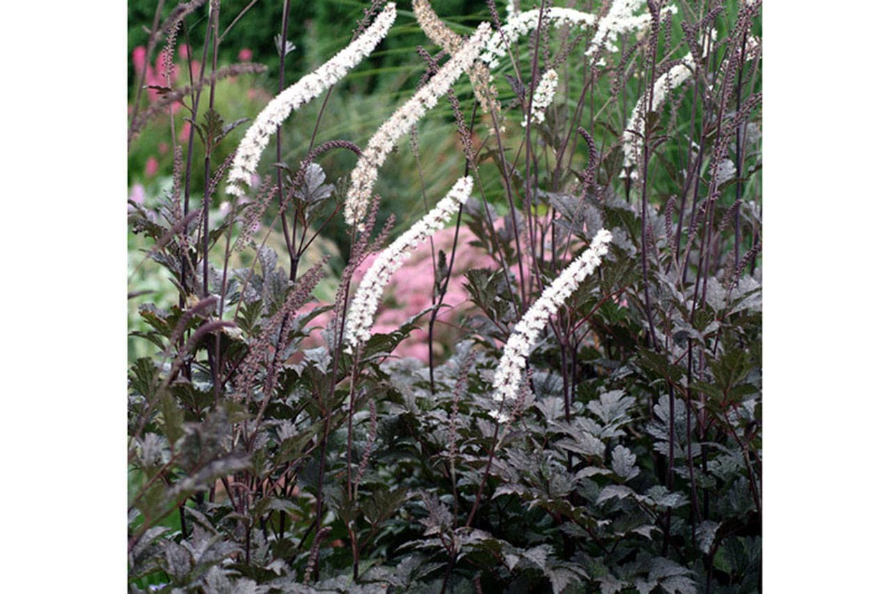 Actaea Black Negligee is one of the author's Top 10 favorite plants.