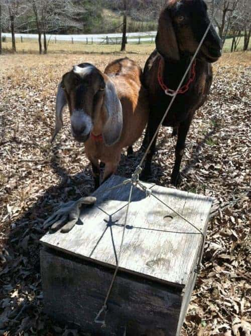 Goats watching a swarm box being set in place.