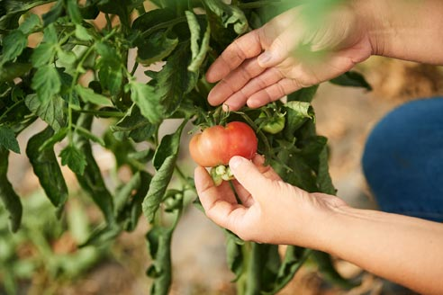 Cueillette légumes