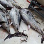La industria atunera garantiza la salubridad del atún en salmuera