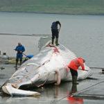 Islandia amplia su cuota de caza de ballenas hasta 2023