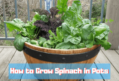 How To Grow Spinach In Pots [In 3 Easy Steps]