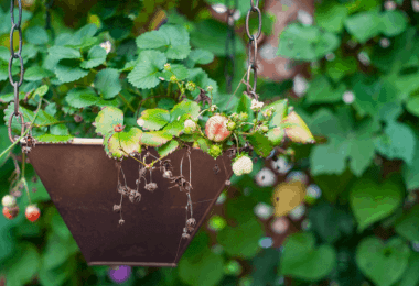 How To Grow Strawberries In Pots [17 Easy Steps]